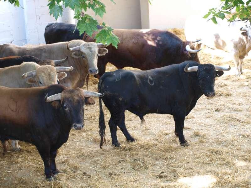 novillos toros parralejo 5 julio